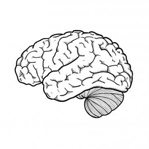 cerveau (2)